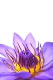 Flor del lirio de agua en blanco Imágenes de archivo libres de regalías
