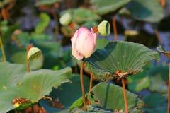 Flor del lirio de agua en la charca Foto de archivo libre de regalías