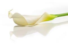 Flor del lirio de cala Fotos de archivo libres de regalías