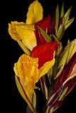 Flor del lirio de Canna Fotografía de archivo libre de regalías