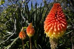 Flor del lirio de la antorcha Imagen de archivo