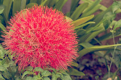Flor del lirio de la bola de fuego Imagen de archivo libre de regalías