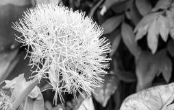 Flor del lirio de la bola de fuego Imágenes de archivo libres de regalías