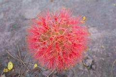 Flor del lirio de la bola de fuego foto de archivo