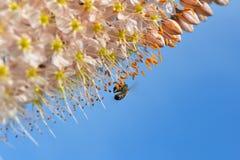 Flor del lirio de la cola de zorra Imagen de archivo libre de regalías