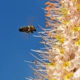Flor del lirio de la cola de zorra Fotografía de archivo libre de regalías