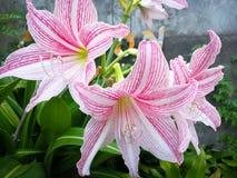 Flor del lirio de la estrella imagen de archivo libre de regalías