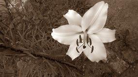 Flor del lirio de la sepia Imagenes de archivo