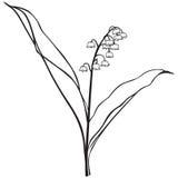 Flor del lirio de los valles Imagenes de archivo