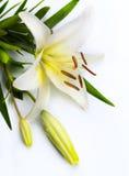 Flor del lirio de pascua en el fondo blanco Foto de archivo