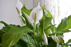 Flor del lirio de paz imagen de archivo