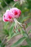 Flor del lirio de tigre Fotografía de archivo libre de regalías
