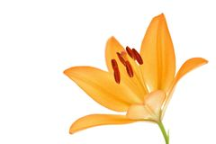 Flor del lirio del amarillo anaranjado aislada en blanco Fotografía de archivo libre de regalías
