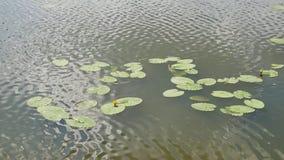 Flor del lirio en el agua almacen de metraje de vídeo