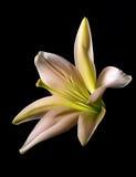 Flor del lirio en fondo negro Imagen de archivo