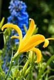Flor del lirio en la lluvia Imágenes de archivo libres de regalías