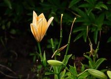 Flor del lirio en los rayos del sol poniente Imagenes de archivo
