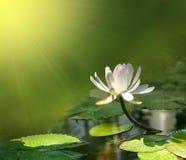 Flor del lirio en un fondo verde Fotos de archivo