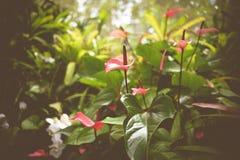 Flor del lirio del flamenco en un ajuste tropical Fotos de archivo