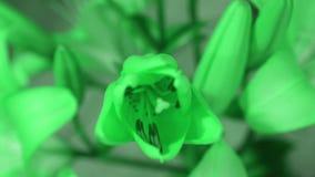 Flor del lirio que abre su flor y que cambia color del verde al azul, animación del lapso de tiempo metrajes