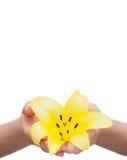 Flor del lirio sostenida en manos Foto de archivo libre de regalías