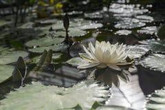 Flor del loto blanco Fotos de archivo libres de regalías