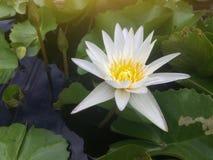 Flor del loto blanco o del lirio de agua hermosa en la charca fotos de archivo libres de regalías