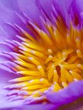 Flor del loto de la abertura Imágenes de archivo libres de regalías