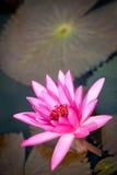 Flor del loto de la estrella, nouchali del Nymphaea Imágenes de archivo libres de regalías