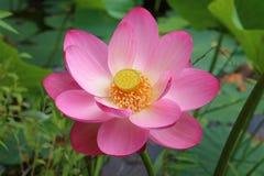 Flor del loto Komarova Fotos de archivo libres de regalías