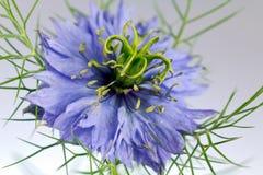 Flor del Love-in-a-mist (damascena de Nigella) Fotografía de archivo