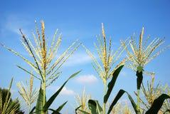 Flor del maíz imagenes de archivo
