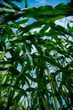 Flor del maíz con el cielo azul Foto de archivo libre de regalías