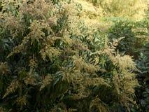 Flor del mango en árbol Imagenes de archivo