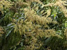 Flor del mango en árbol Foto de archivo