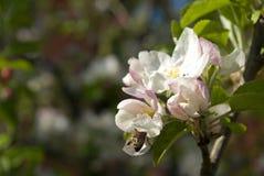 Flor del manzano fotos de archivo