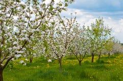 Flor del manzano con las flores blancas Imagen de archivo libre de regalías
