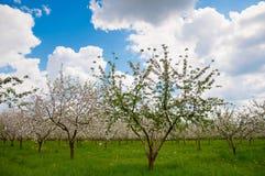 Flor del manzano con las flores blancas Fotos de archivo