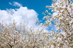 Flor del manzano con las flores blancas Imagen de archivo