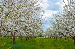 Flor del manzano con las flores blancas Fotografía de archivo