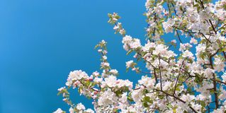 Flor del manzano con las flores blancas Fotos de archivo libres de regalías
