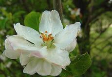 Flor del manzano en la lluvia fotos de archivo libres de regalías