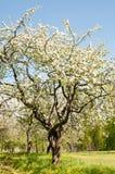 Flor del manzano Jardín en verano Naturaleza Imagen de archivo