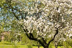 Flor del manzano Jardín en verano Naturaleza Fotografía de archivo