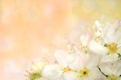 Flor del manzano salvaje en un fondo coloreado Imagenes de archivo