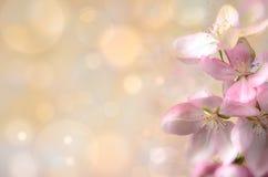 Flor del manzano salvaje en un fondo coloreado Imagen de archivo libre de regalías