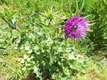 flor del marianum del silybum y fondo púrpuras de las hojas del verde Imagen de archivo