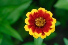 Flor del marrón amarillo foto de archivo libre de regalías