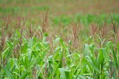 Flor del maíz de campo de maíz Foto de archivo