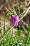 Flor del meleagris del Fritillaria Imagen de archivo libre de regalías